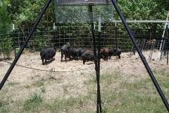 Hog Trapping Set Up