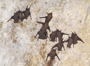 Free-Tailed Bats Roosting